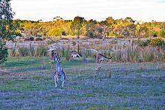 Kangaroos @ Riddells Creek Treetop Scout camp