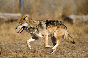 Captive Mexican Wolf at , New Mexico. Edit to ...