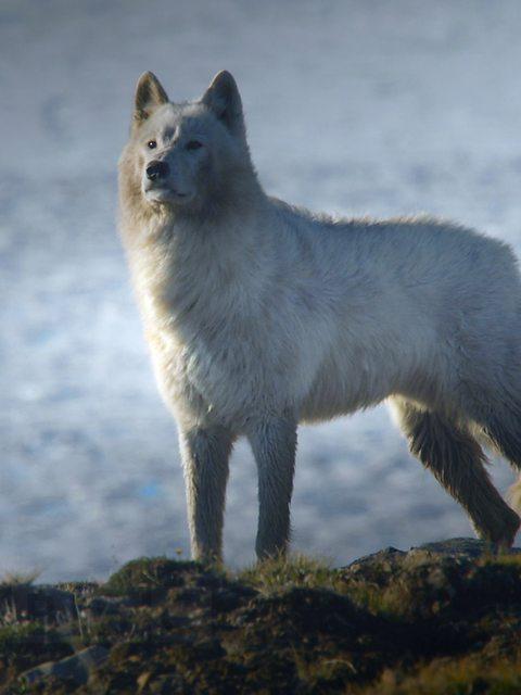 wolf. Beautiful Animals of 2014